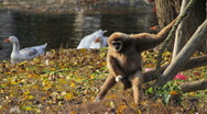 Stock Video Footage of Bored Monkey