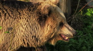 Stock Video Footage of Brown Bear