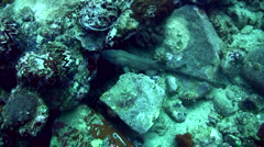 Grey bamboo shark (Chiloscyllium griseum) swimming between sea urchins Stock Footage