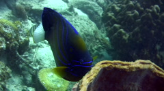 Blue-ringed angelfish (Pomacanthus annularis) eating barrel sponge Stock Footage