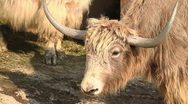 Stock Video Footage of Yak Eating