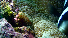 Clark anemonefish (Amphiprion clarkii) taking care of its eggs part2 Stock Footage