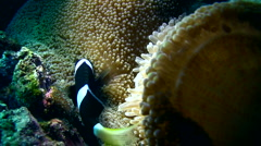 Clark anemonefish (Amphiprion clarkii) taking care of its eggs part1 Stock Footage