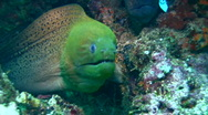 Giant and yellow-edged moray eel together Stock Footage