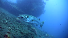 Great barracuda (Sphyraena barracuda) from side to side Stock Footage