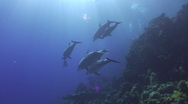 Stock Video Footage of Pod of bottlenose dolphins - Underwater view