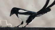 Magpie 3 Stock Footage