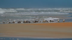 Flock of seagulls rests on a sandbar Stock Footage