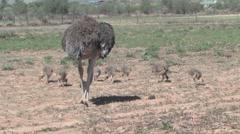 Ostrich Farm Stock Footage