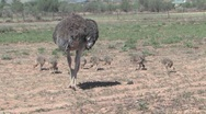 Ostrich Farm Stock Footage
