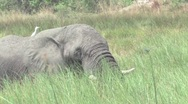 Stock Video Footage of Elephants Okavango Delta, Botswana