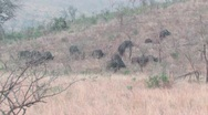 Cape Buffalo in Hluhluwe Game Reserve Stock Footage