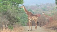 Giraffe in Hluhluwe Game Reserve Stock Footage