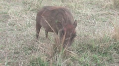 Warthog in Hluhluwe Stock Footage