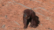 Baby orangutan using four legs Stock Footage