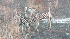 Zebra in Hluhluwe Stock Footage