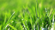 Fresh green grass with dew drops. Morning summer scene. Macro Stock Footage