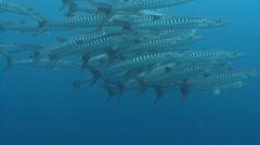 Barracuda swarm in blue water. - stock footage