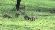 Stock Video Footage of Mongoose & Monkeys in Chobe