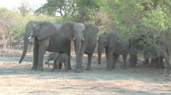 Newborn elephant with herd in Chobe - stock footage