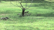 Stock Video Footage of Striped Mongoose Chobe
