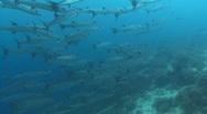Barracuda swarm in blue water. Stock Footage