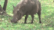 Stock Video Footage of Warthog Chobe