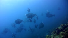 Humphead or Bumphead parrotfish (Bolbometopon muricatum) in large group Stock Footage