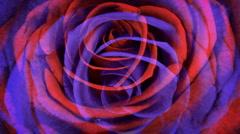 Rose flower grow nature valentine Stock Footage