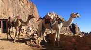 Camels. Mount Sinai. Egypt Stock Footage