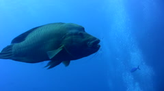 Napoleon wrasse (Cheilinus undulatus) eating lobster, rare part2 Stock Footage
