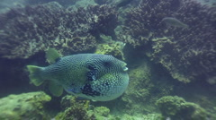 Map pufferfish (Arothron mappa) puffing down Stock Footage