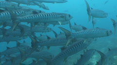 Barracuda swarm in blue water. Stock Footage