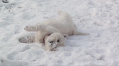 Dog rolling in snow  Stock Footage