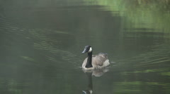 canadian goose - stock footage