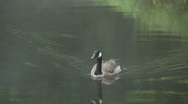 Stock Video Footage of canadian goose