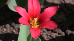 Hybrid cultivar tulip (Tulipa sp.) flower swaying in the wind in the spring gard Stock Footage