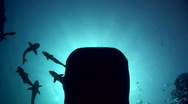 Whale shark (Rhincodon typus) silhouette passing Stock Footage