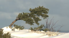 Pine tree on a rock with snow on the ground Stock Footage
