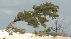 Pine tree and Pine tree on a rock with snow on the ground Stock Footage