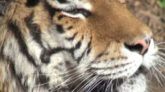 Simerian tiger is relaxing and resting,close-up Stock Footage