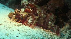 Scorpion Fish is stalking prey while laying on the sand. Stock Footage