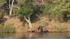 African elephant in river - stock footage