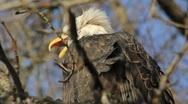 Bald Eagle Call (close-up) Stock Footage