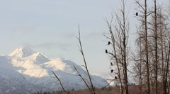 Bald Eagles Perched in the Cottonwoods (wide) Stock Footage