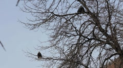 Bald Eagles in a Cottonwood - stock footage