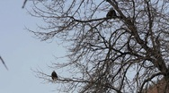 Stock Video Footage of Bald Eagles in a Cottonwood