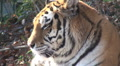 simerian tiger is relaxing and resting, close up  Footage
