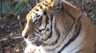 Simerian tiger is relaxing and resting, close up  Stock Footage