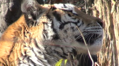 Simerian tiger is relaxing and resting, close-up Stock Footage